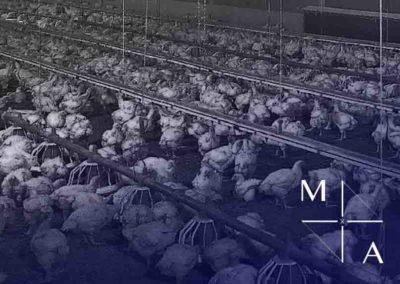 CHICKEN FARM DEVELOPMENT INDONESIA